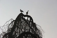 Sylwetek Egipskie gąski, AlopochenAegyptiaca w drzewie Obraz Royalty Free