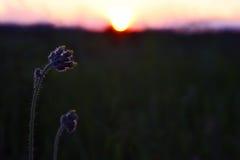 Sylwetek rośliien kwiat przeciw położenia słońcu Fotografia Royalty Free