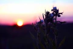 Sylwetek rośliien kwiat przeciw położenia słońcu Zdjęcie Royalty Free
