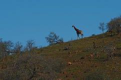 Sylwetka żyrafa iść puszek wzgórze w Południowa Afryka, Zdjęcia Royalty Free