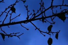 Sylwetka barwiarski drzewo przeciw niebieskiemu niebu Obrazy Royalty Free