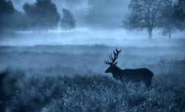 Sylwetka czerwonego rogacza jeleń Fotografia Royalty Free