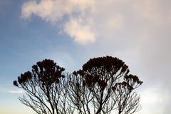 Sylwetka endemiczne rośliny na górze Roraima, Wenezuela Obraz Royalty Free