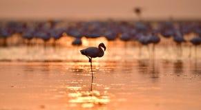 Sylwetka flaming przy świtem Flaming na wodzie Jeziorny natron przy wschodem słońca flamingo w mniejszym Naukowy imię: Phoenicopa zdjęcie stock