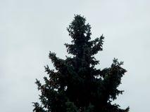 Sylwetka jedlinowy drzewo na błękitnym tle obraz stock