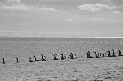 Sylwetka kierdel gąski w wodnym (czarny i biały) Obrazy Royalty Free