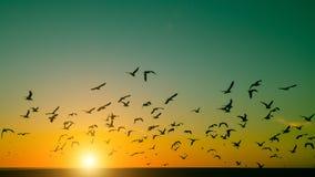 Sylwetka kierdel ptaki nad Atlantyckim oceanem podczas zmierzchu Obrazy Stock