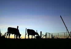 Sylwetka krowa i byk przy zmierzchem zdjęcia royalty free