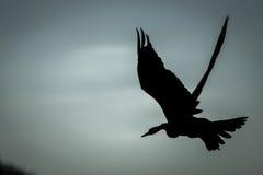 Sylwetka latający Afrykański wężowy Zdjęcia Royalty Free