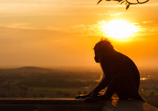 Sylwetka małpa w zmierzchu Zdjęcia Royalty Free
