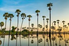 Sylwetka palmyra drzewka palmowe i ich odbicia zdjęcia royalty free