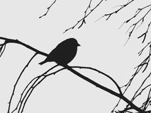 Sylwetka ptak na gałąź brzoza troszkę Zdjęcia Royalty Free
