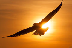 Sylwetka ptaki na zmierzchu Seagulls przy Zmierzchem Obrazy Royalty Free