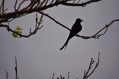 Sylwetka rozwidlenia drongo ogoniasty ptak Fotografia Royalty Free