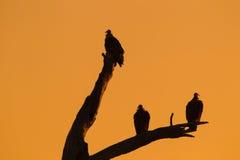 Sylwetka sępy na nieżywym drzewie Fotografia Royalty Free