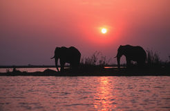 sylwetka słonia Obraz Royalty Free