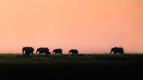 Sylwetka słonie Chodzi przy zmierzchem Obrazy Stock