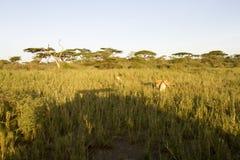 Sylwetka safari pojazd z lwami, Serengeti, Tanzania Zdjęcie Stock
