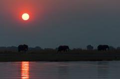 Sylwetka stado elepanhts przy zmierzchem w Chobe parku narodowym w Botswana Zdjęcia Stock