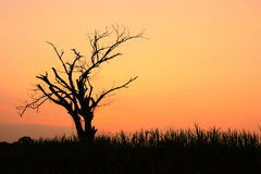 Sylwetka suchy drzewo przy zmierzchem fotografia stock