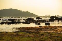 Sylwetka widok bizon Zdjęcia Royalty Free