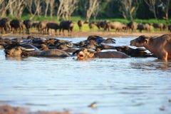Sylwetka widok bizon Zdjęcie Royalty Free