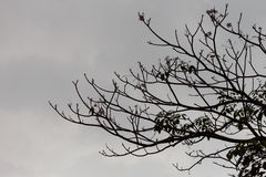 Sylwetka widok gałąź na drzewie przed deszczem Fotografia Stock