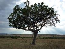 Sylwetka wielka Afrykańska akacja zdjęcia stock