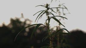 Sylwetka wierzchołki gałąź dziki konopie na tle zmierzch Kultywacja marihuana Legalizacja marihuana zdjęcie wideo