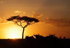 Sylwetka Wildebeest uzbrajać w rogi podczas zmierzchu przy Masai Mara Fotografia Royalty Free