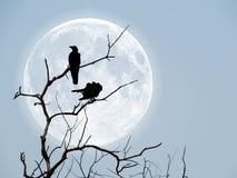 Sylwetka wrony na suchym drewnianym kiju obraz stock