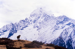 Himalajscy Yak Fotografia Stock