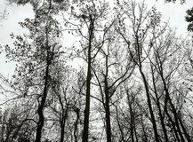 Sylwetka zim Treetops Obrazy Royalty Free