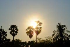 Sylwetka zmierzch nad cukrowymi drzewkami palmowymi z złotym niebem przy półmrokiem zdjęcia stock