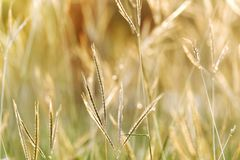 Sylwetka zmierzch z dzikiej trawy kwiatu okwitnięciem w złotym świetle przy wieczór i polu ostatnio zdjęcie stock