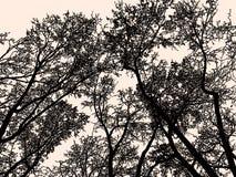 Sylwetki deciduous drzewa w zimie Obraz Stock