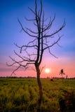 Sylwetki drzewo pojedynczy w trzciny cukrowa polu przy zmierzchem Zdjęcia Royalty Free