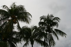 sylwetki palmowy drzewo Obraz Royalty Free