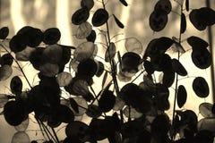 Sylwetki Srebnego dolara roślina Obrazy Royalty Free