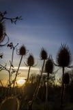 Sylwetki teasels przy zima zmierzchem Fotografia Stock