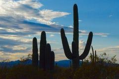 Sylwetkowy kaktus zdjęcie stock