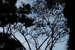 Sylwetkowy wizerunek latający lisów aka owocowi nietoperze Fotografia Stock