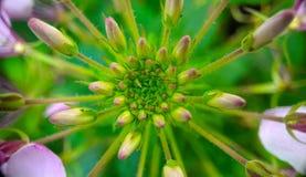 Symétrie et modèles sur une fleur photographie stock libre de droits