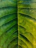 Symétrie verte de milieu de feuille Image stock
