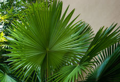 Symatry in nature. The perfect symetry of a palmtree leaf Stock Photos