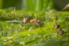 Symbions av myror och bladlöss Myra som ansar hans flock Royaltyfri Bild