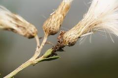 Symbions av myror och bladlöss Myra som ansar hans flock Arkivbild