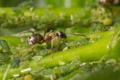 Symbions av myror och bladlöss Myra som ansar hans flock av bladlöss Royaltyfri Bild