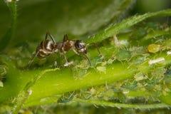 Symbions av myror och bladlöss Myra som ansar hans flock Grön bakgrund Arkivfoto