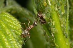 Symbions av myror och bladlöss Myra som ansar hans flock på gröna sidor Fotografering för Bildbyråer